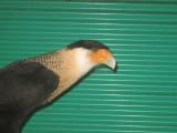 Cara Cara Education Bird