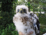 Baby Downy Hawk