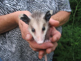 Joan Waters holding a junvenile Opposum