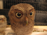 Junvenile Screech Owl